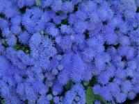 Агератум — Современный вариант красивого декора милым цветком +90 фото
