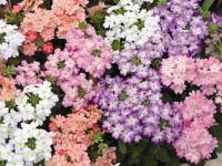 Алиссум — лучшие виды и способы их выращивания в красивом ландшафте (128 фото)