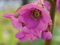 Бадан — шикарный цветок и советы по уходу за ним +115 фото