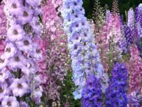 Дельфиниум — очень оригинальный цветок в красивом ландшафте! (144 фото)