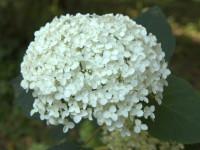 Древовидная гортензия — 66 фото лучших способов выращивания!