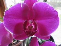 Фаленопсис — шикарное растение для вазона в фото обзоре!