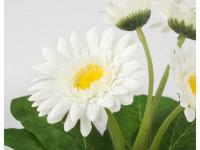 Гербера — изящный цветок для красивого оформления ландшафта на фото!