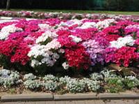 Кларкия — Нежное цветочное оформление современного ландшафта! (84 фото)