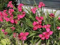 Луковичные садовые цветы — Самые популярные идеи для оригинального декора! (83 фото)