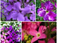 Маттиола — изящный цветок для красивого оформления ландшафта (128 фото)