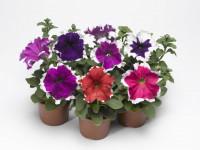 Петуния — цветочное растение для яркого декора на фото новинках!