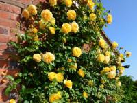 Плетистая роза — шикарный цветок для любого ландшафта на фото новинках!