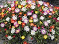 Портулак — вариант для красочного оформления цветочника без лишних усилий!