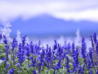 Шалфей — все свойства растения и как его выращивать узнайте здесь…