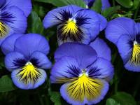 Цветы многолетние для дачи — посадка и уход без лишних усилий!