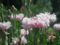 Цветы васильки — Приятный декор с красивой растительностью! (81 фото)