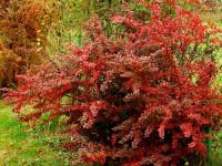 Тунберга барбарис — многолетний и красивый цветок без сложного ухода!