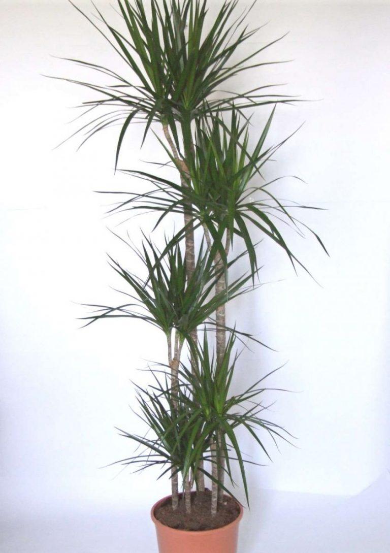 Пальмы и драцены в домашних условиях 566