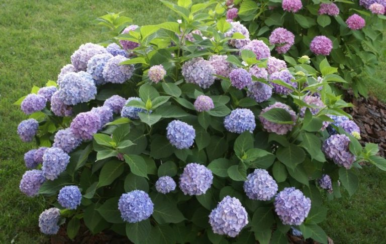 Гортензия на урале выращивание в домашних условиях 51