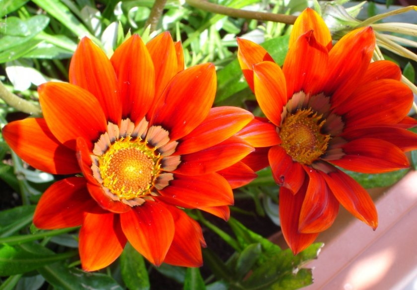 Гацания гибридная цветов