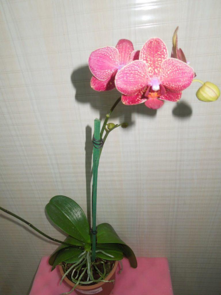 Как ухаживать за орхидеей цветок фото