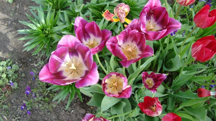 Луковичные цветы садовые каталоги