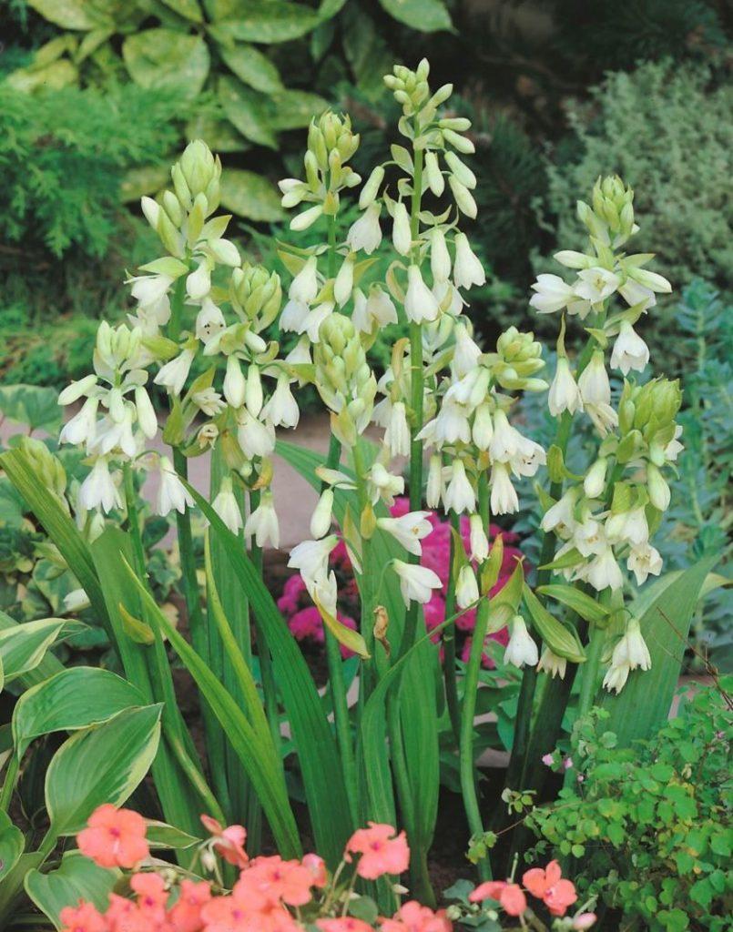Луковичные не многолетние цветы фото и названия