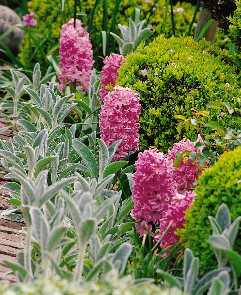 Садовые цветы из луковиц