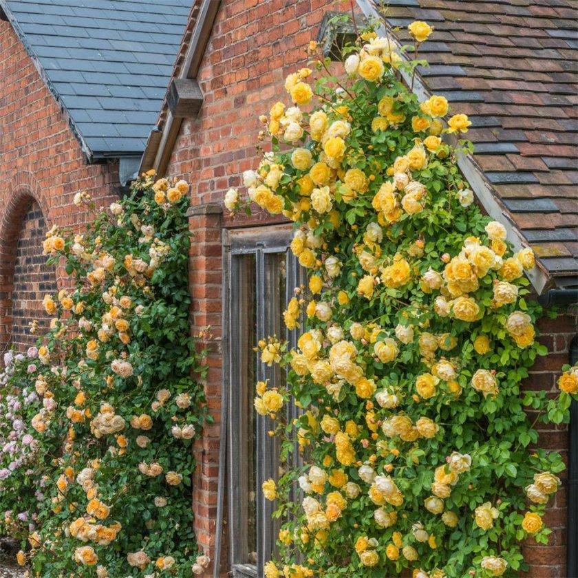Как красиво посадить плетистую розу
