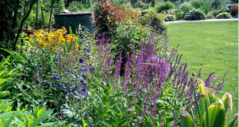 Сальвия дубравная фото цветов
