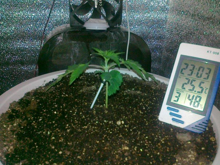 Выращивание конопляные семена 81