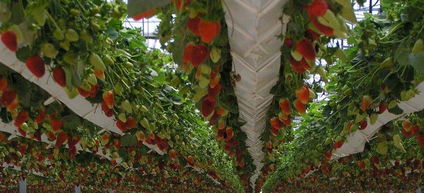 Гидропонику своими руками для выращивания клубники