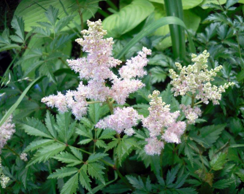 Многолетние цветы для урала