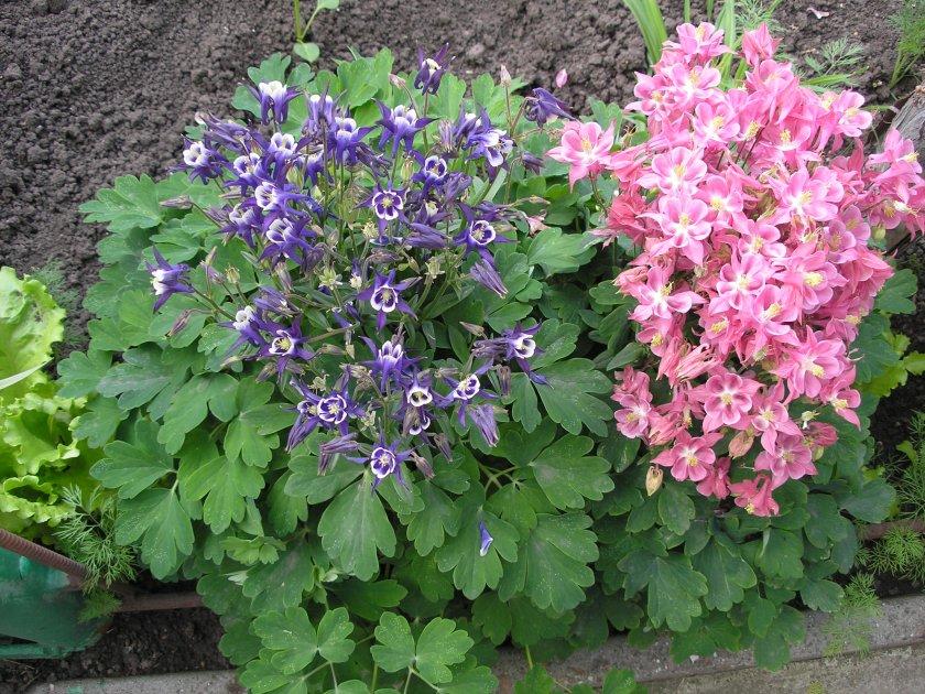 Фото многолетних цветов высоких