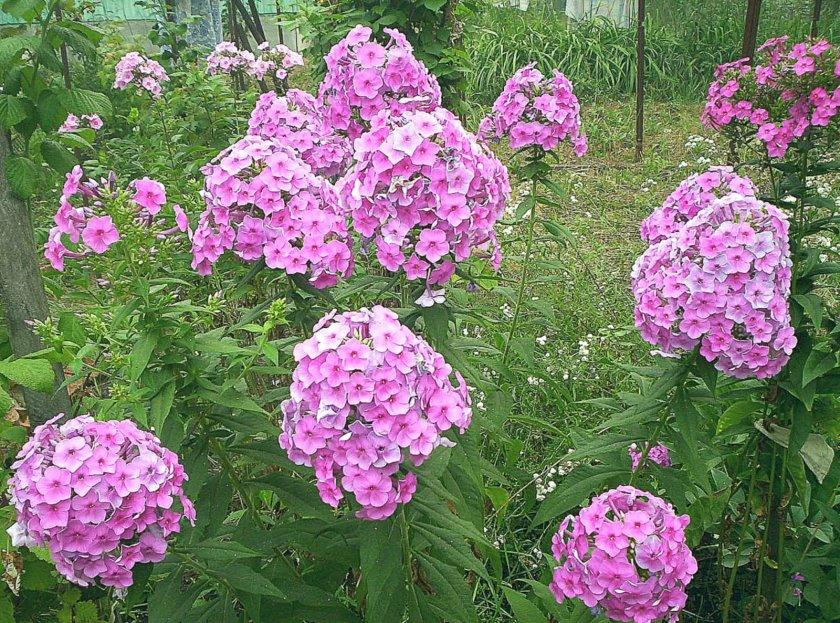 Фото цветы многолетние дачные