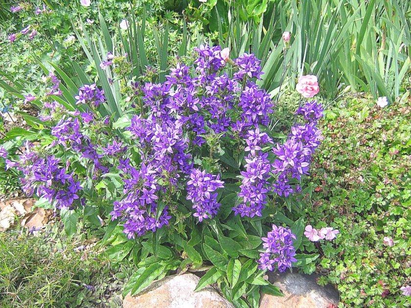 Многолетние цветы с голубыми цветами название и фото