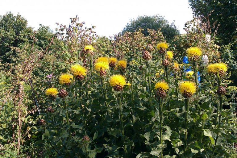 Василек золотисто-желтый выращивание из семян 99