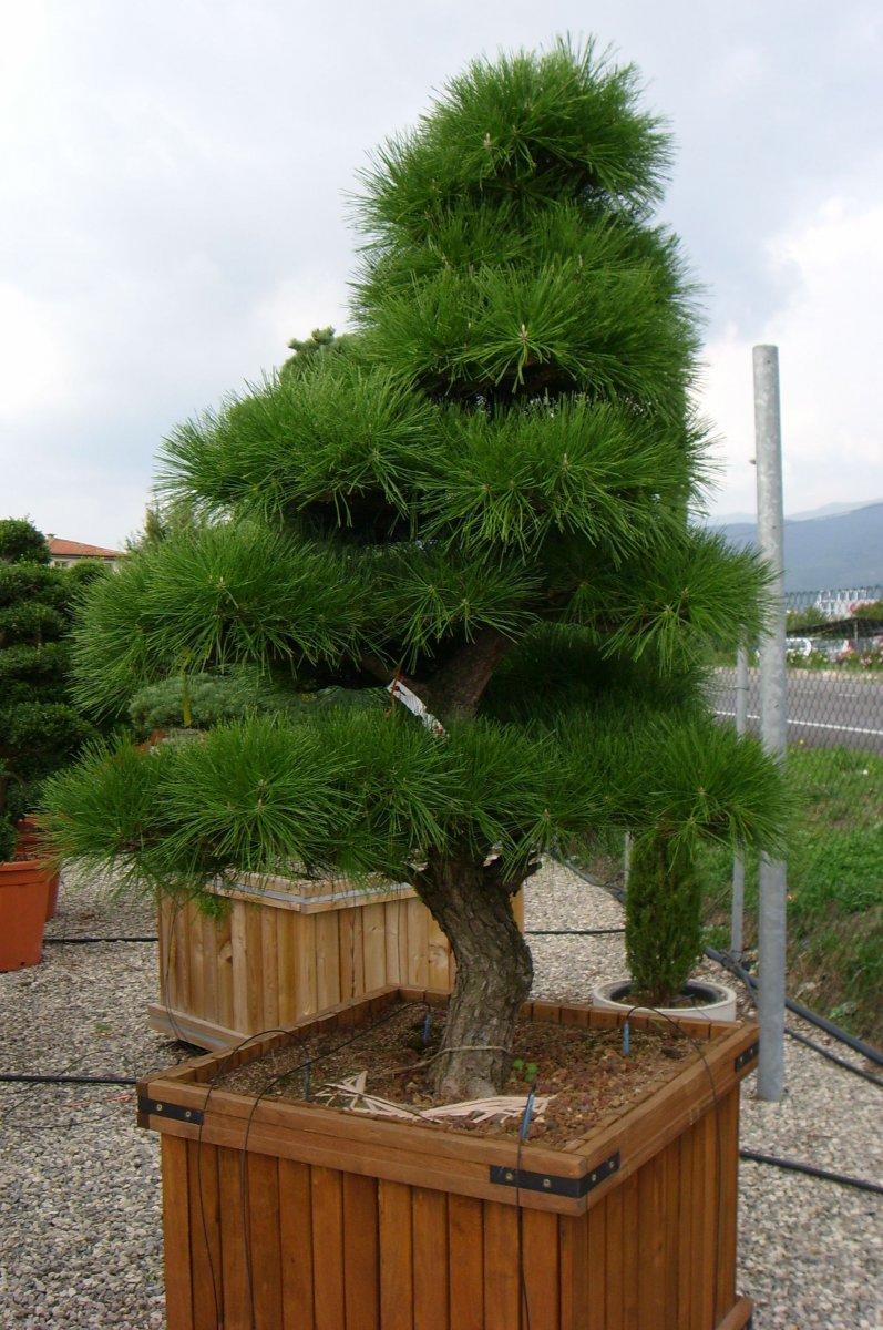 Пиния итальянская сосна способы выращивания 68