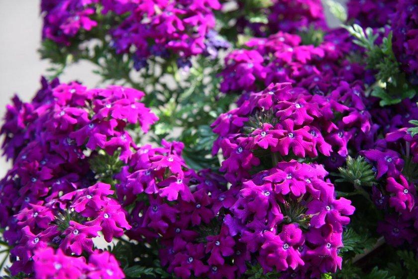 Цветы вербена многолетняя