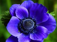 Анемона — капризный но очень красивый цветок для ландшафта в фото обзоре!