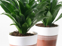 Драцена — красивый вазон для приятного озеленения в вашем доме! (145 фото)