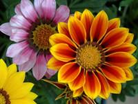 Гацания — яркие идеи цветочных сочетаний в ландшафте (124 фото)