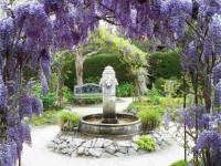 Глициния — идеальный вариант для вашего сада +84 фото!