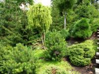 Карликовые хвойные растения — шикарный вариант для озеленения ландшафта!