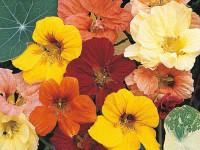Настурция — цветок который не оставит себя без внимания в любом ландшафте (134 фото)