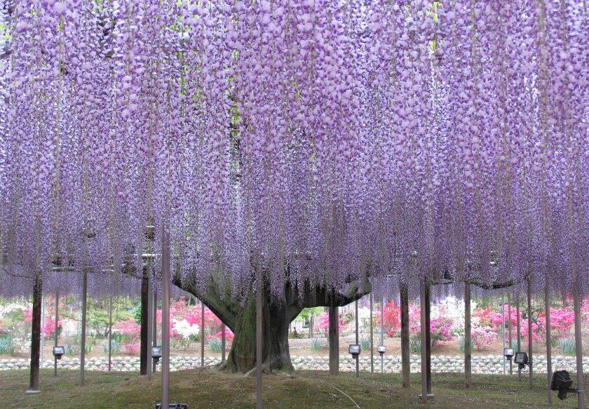 Глициния цветы для сада