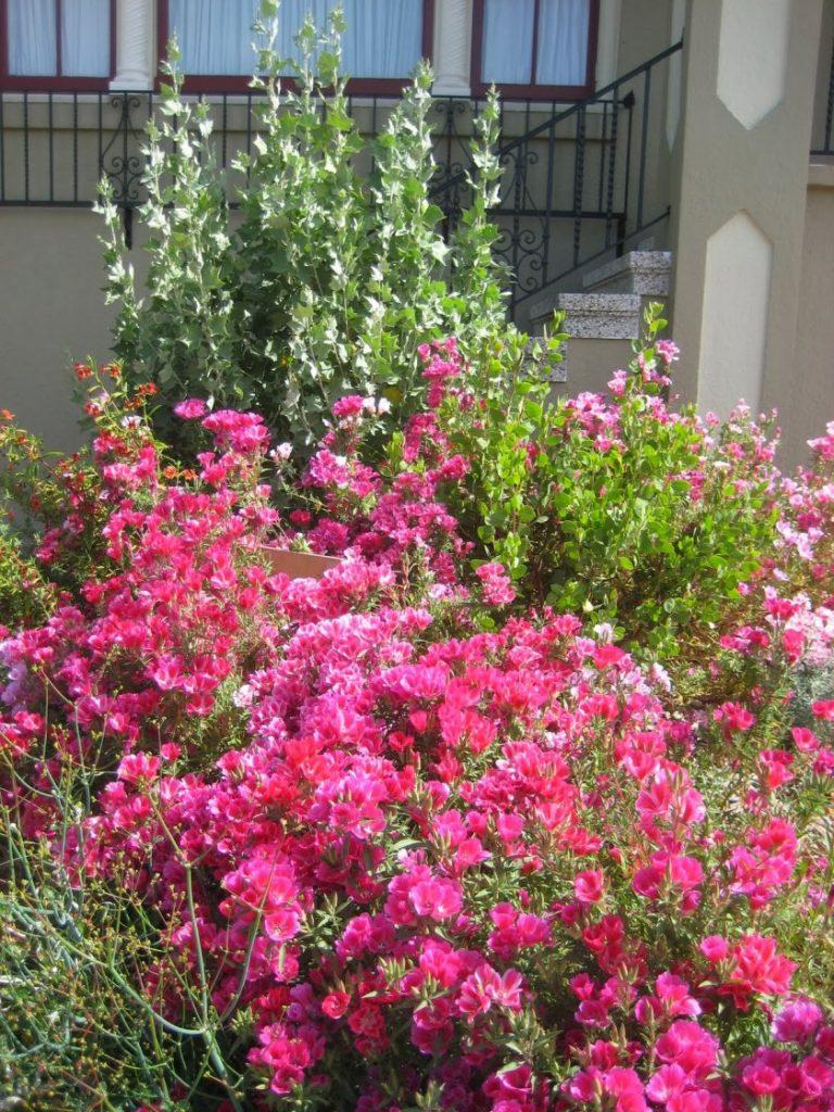 кларкия фото цветы объединение