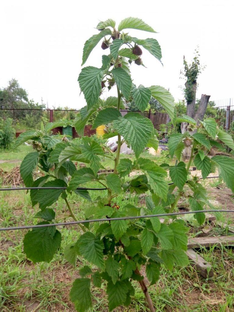 скачивание малиновое дерево цветение фото ответить вопрос какой