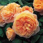 Pletistaya-roza-1-150x150.jpeg