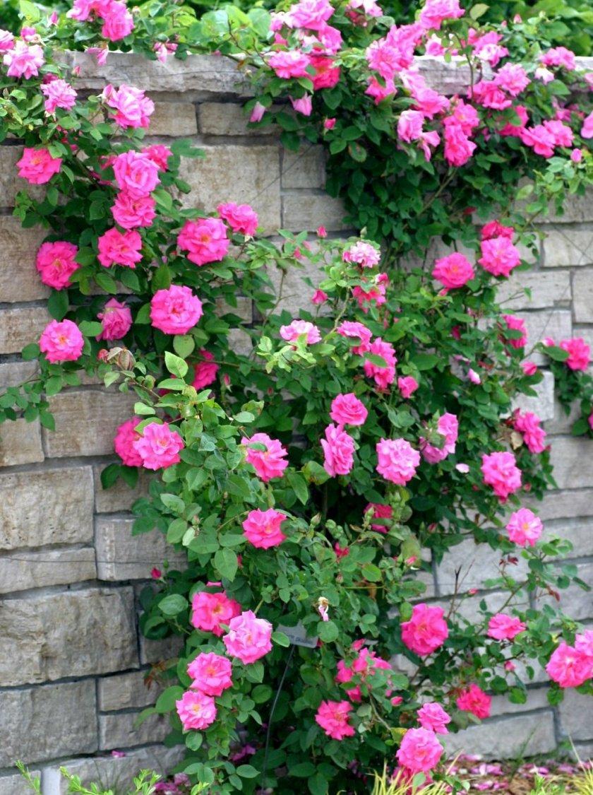 Pletistaya-roza-1.jpg