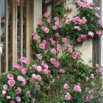 Pletistaya-roza-12-150x150.jpg