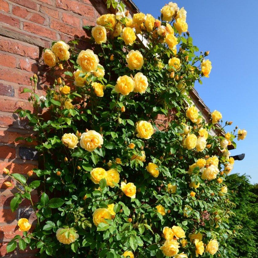 Плетистые розы в саду: виды, сорта, размещение, фото