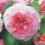 Pletistaya-roza-2-150x150.jpeg