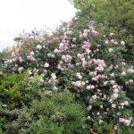 Pletistaya-roza-35-150x150.jpg